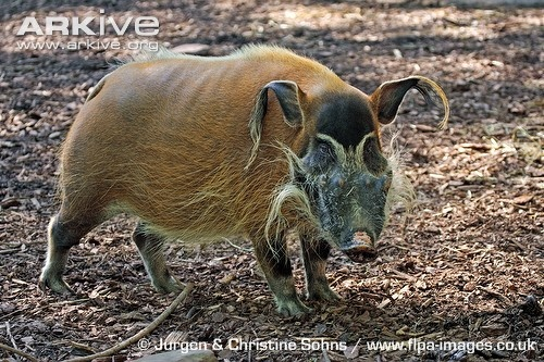 Red river hog  Instantly recognisable for its bright rufous fur, the red river hog is undoubtedly the most strikingly coloured of all wild pigs. Despite being, on average, the smallest African pig.