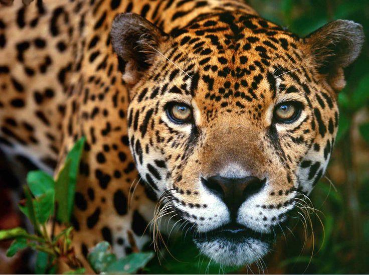 Amantes de la #naturaleza, no pueden perderse la #experiencia única del #Zafari Fotográfico en #Pantanal #Brasil. Cinco días a pura #aventura. Caminatas por los bosques, vistas de #paisajes deslumbrantes, paseos a orillas del #río, #expediciones, y un encuentro único con los #jaguares en Porto Joffre. Consúltenos: goo.gl/Af0z2w