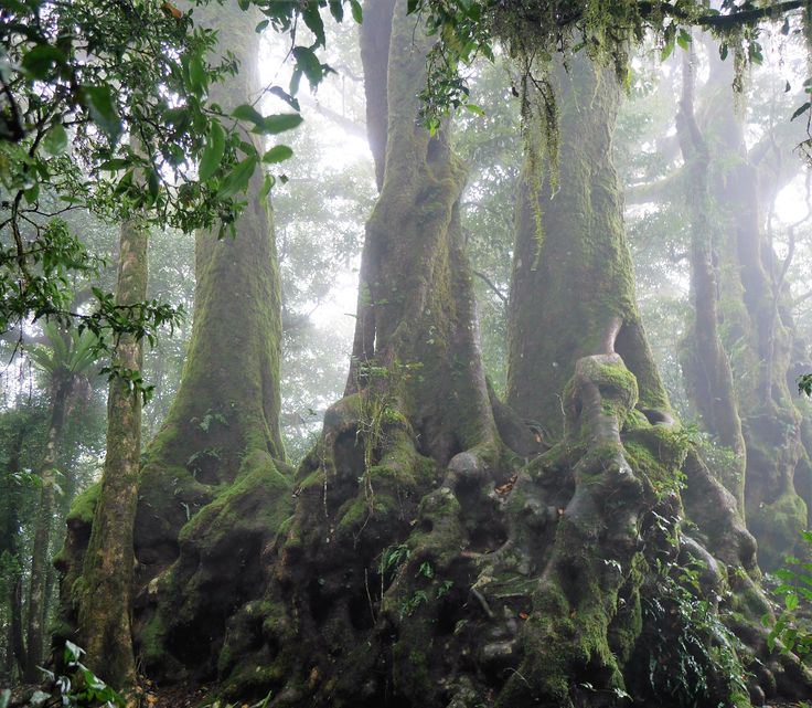 3000 to 4000 year old Antarctic Beech Trees surrounded by clouds at Springbrook National Park