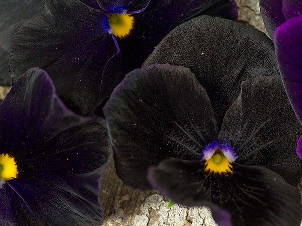 Black King Pansy In 2020 Pansies Heirloom Seeds Pansies Flowers