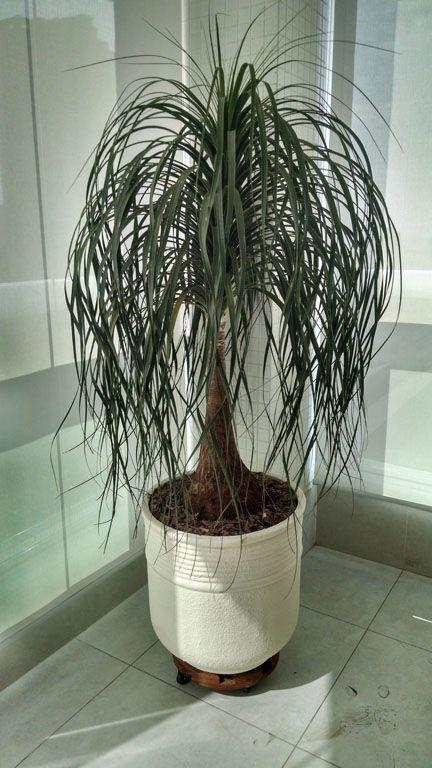 Arranjo pata de elefante vaso de cimento jardins - Planta pata de elefante ...