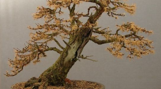 Three in the Mature category - Willowbog Bonsai