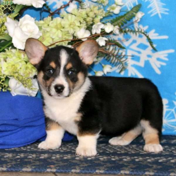 Ace Pembroke Welsh Corgi Puppy For Sale In Pennsylvania Welsh