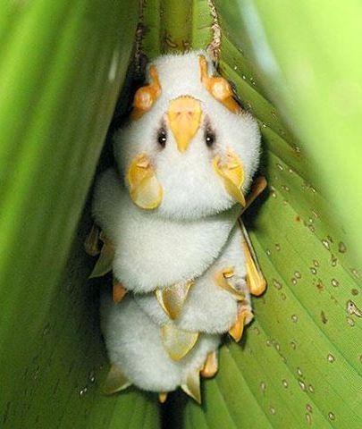 Amazing Bat Facts (Honduran White Bats)