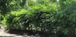 GRACEFUL BAMBOO 7G - BAMBUSA TEXTILIS GRACILIS | Bamboo for Sale
