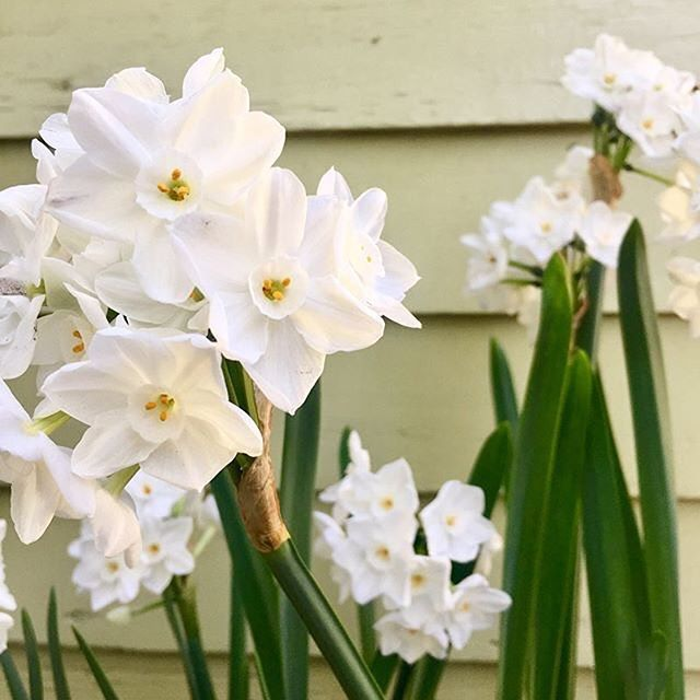 From @thehorticult - Six weeks after planting in soil, the paperwhites have reach their peak!  delicate flowers, with a fragrance that knocks you over the head. Growing more slowly than vase-forced bulbs, these ones we planted in potting soil with the top inch of bulb exposed while maintaining consistent moisture and bright but slightly filtered sunlight.  .  .  .  #narcissuspapyraceus #paperwhites #flowers #thehorticult #gardening #gardendesign #gardens #garden #gardener #plants #winter
