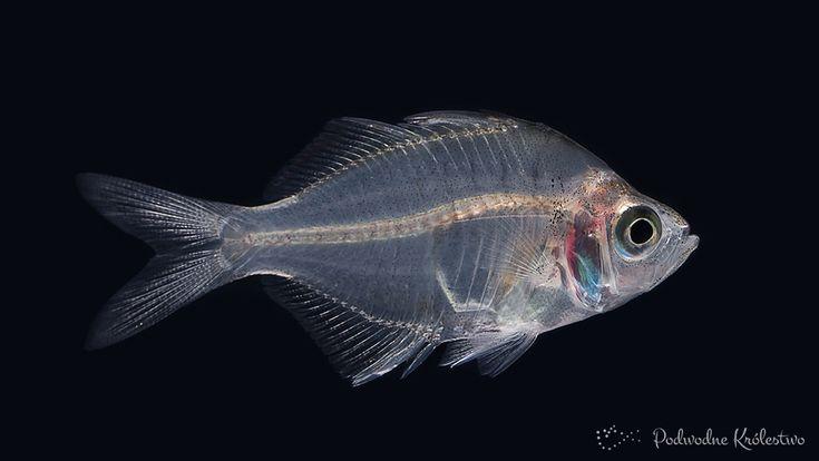 Przeźroczka indyjska - słodkowodne ryby akwariowe