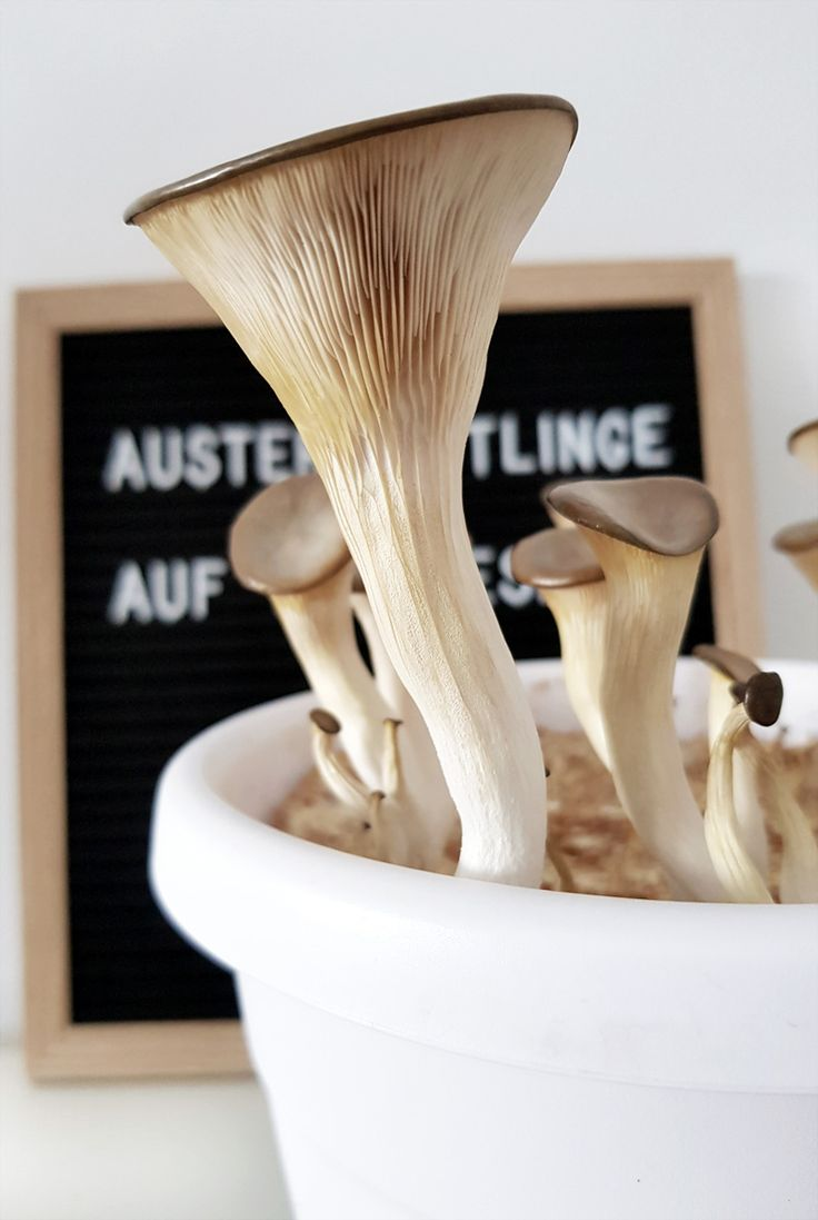 Austernpilze auf Kaffeesatz DIY