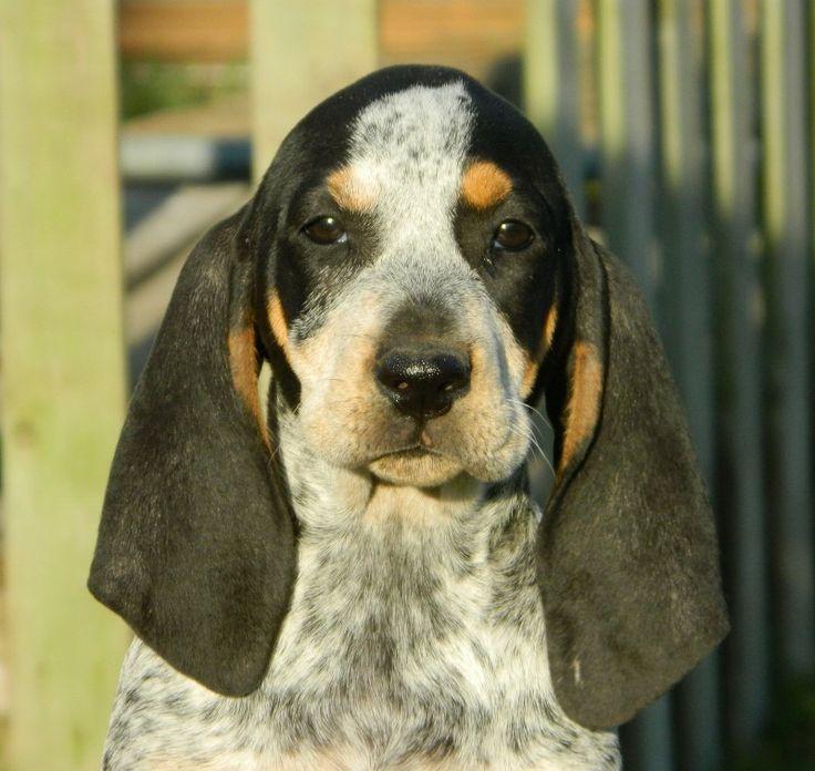 201 best Black & Tan Coonhound images on Pinterest ...