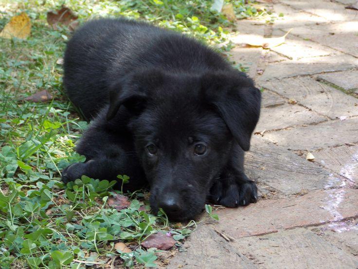7 week old solid black German shepherd puppy Acheron