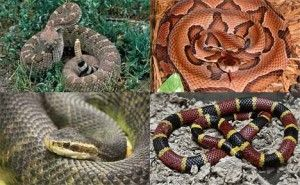 The 4 Deadly Poisonous Snakes in America. So stop freaky f out over every snake you see. There are ONLY 4 to be scared of.