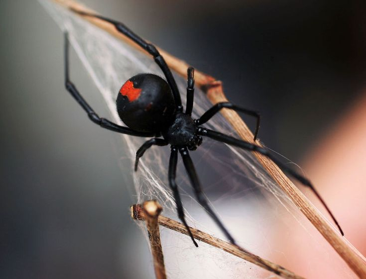 The redback spider (Latrodectus hasseltii) is a dangerous spider endemic to Australia. It is a member of the genus Latrodectus, the widow spiders, which are found throughout the world. The female is easily recognisable by her black body with a prominent red stripe on the upper side (i.e. the back) of her abdomen.