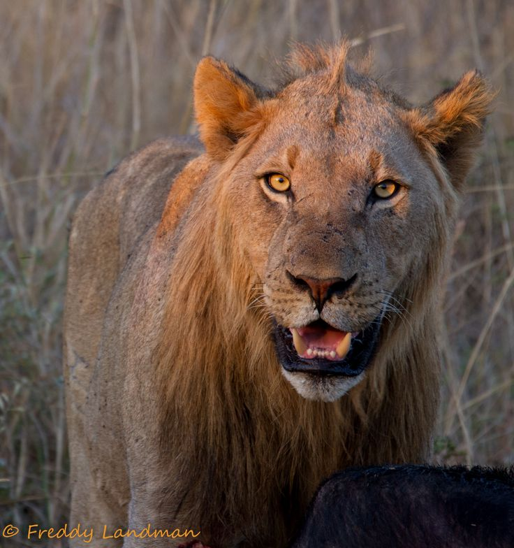 Sub adult male lion on a buffalo kill in Imfolozi Game Reserve