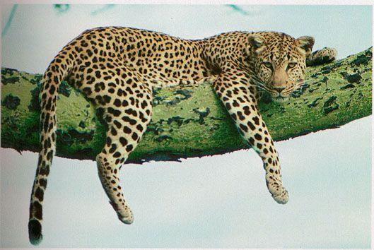Google Image Result for http://bromosaywhat.files.wordpress.com/2011/09/4204_leopard.jpg