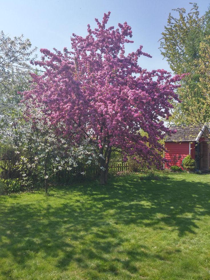 W ogrodzie rustykalnym nie może zabraknąć drzew owocowych_projekt Joanna Paszko Ochotny