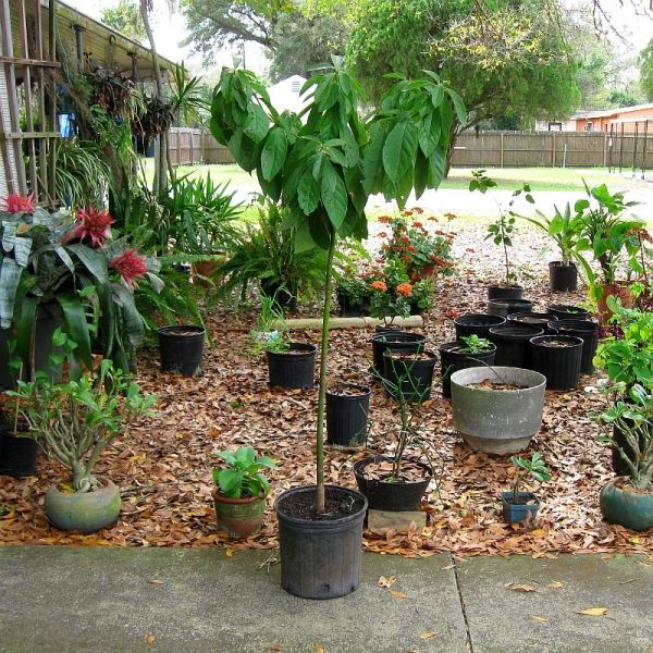1000 images about avocado tree on pinterest hass for Grow your own avocado tree from seed