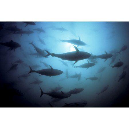 Australia South Australia Port Lincoln Southern Bluefin Tuna (Thunnus Maccoyii) Circle In A Holding Pen Canvas Art - Dave Fleetham Design Pics (17 x 11)
