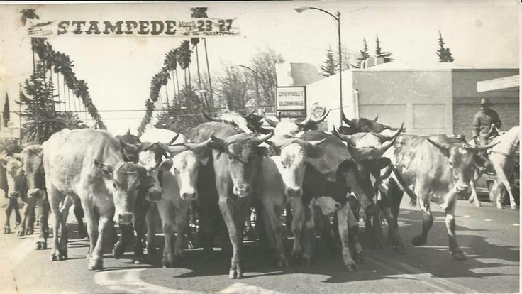 Cattle Drive At The Chowchilla Western Stampede Madera