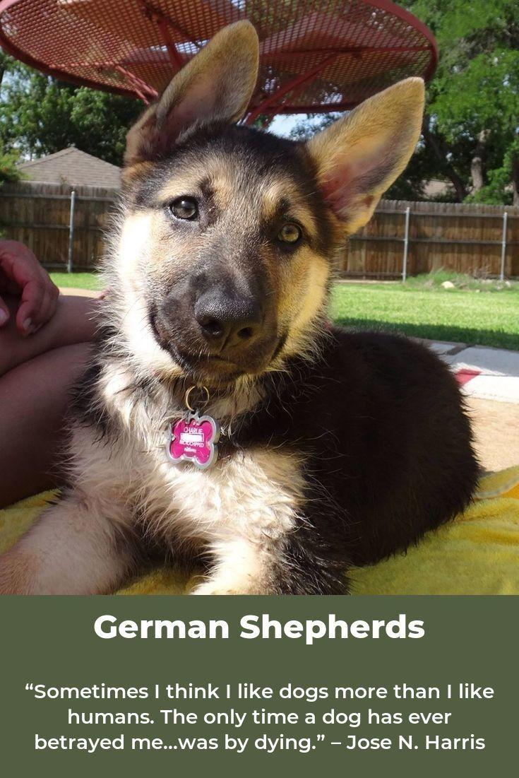 German Shepherd Germanshepherdsdaily Germanshepherdinsta