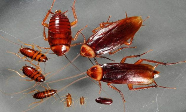 How Many Babies Does A Cockroach Have