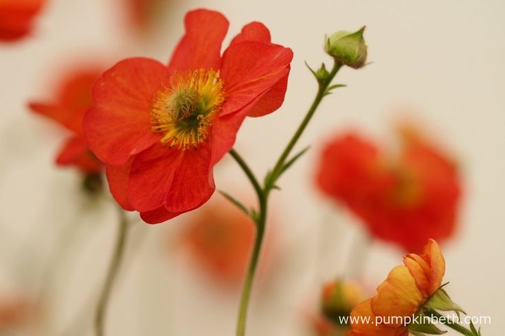 Geum 'Scarlet Tempest' grows to about 50cm (20 inches) tall, and 50cm (20 inches) wide.