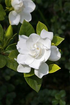gardenia flowers - the soft smooth texture of the petals...the exquisite scent!  My favorite.