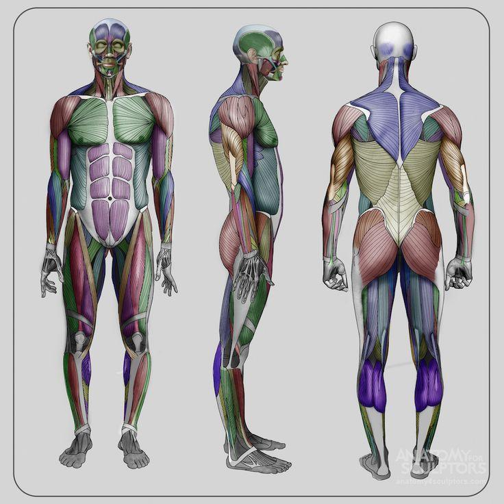 Atemberaubend Anatomie Muskel Spiel Bilder - Menschliche Anatomie ...