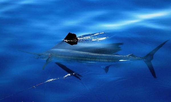 Sailfish-courtesy_Allan_Smith.jpeg