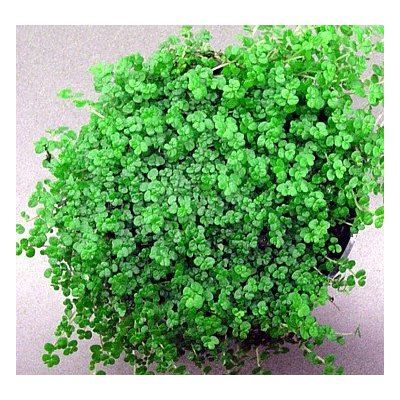 Safe plants for a child's room: A Baby's Tears Plant is a delicate looking house plant that looks like a mat or carpet of tiny green leaves as it spreads over the sides of its pot. Looks great in a pretty ceramic pot.