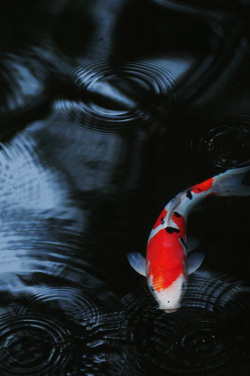 shinimasu: 鯉 by U3K-Y