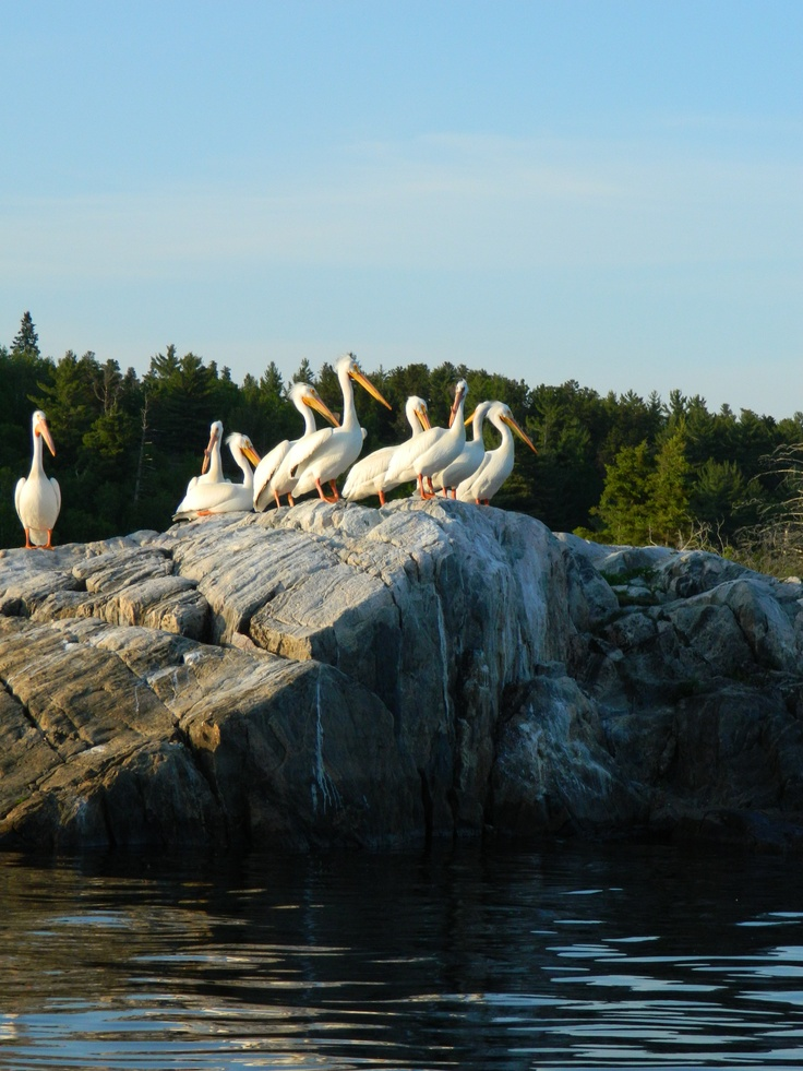 Pelicans on the Winnipeg River, Kenora, Ontario, Canada