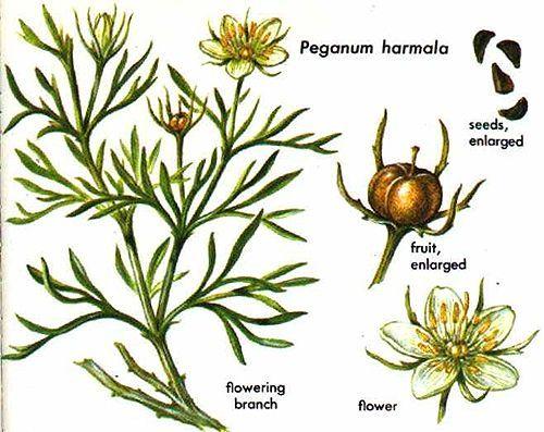 Peganum harmala flower -- used to make esfand incense