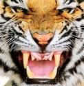 This tiger is my wall paper