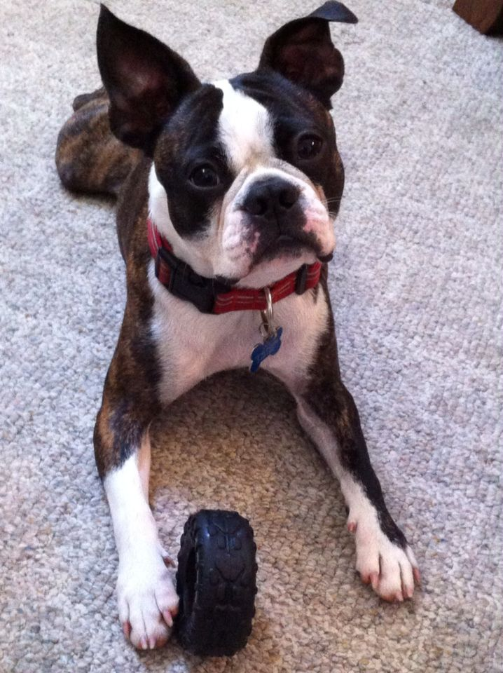 My perfect brindle Boston Terrier, Doc. ❤️