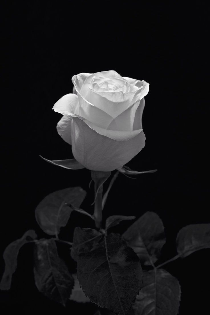 White Rose On Black Colour And Black Pinterest Flowers And Black