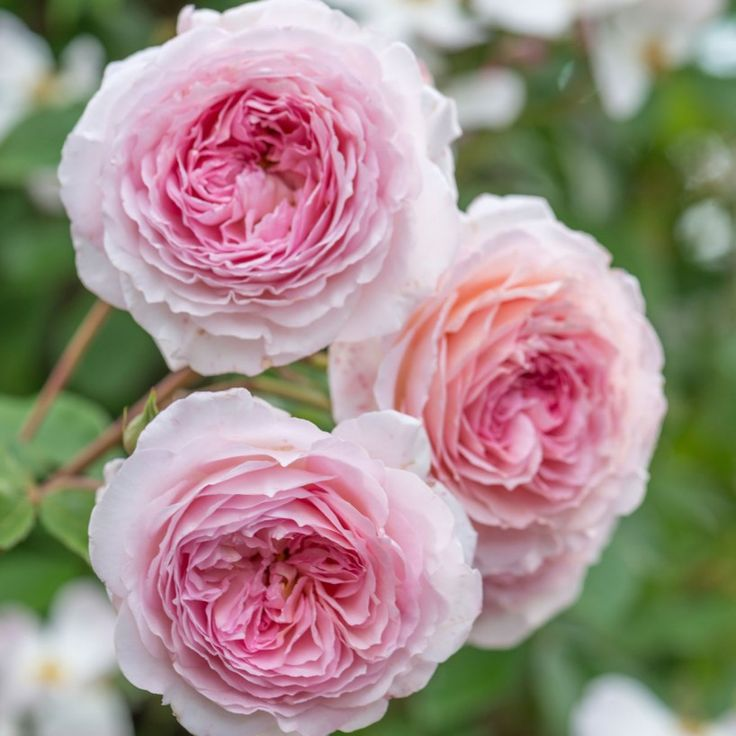 James Galway - Potted Roses - Delivery Type David Austin Disease resistant and almost thornless