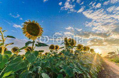 #sunflowers #girasoli #sole #sun #tramonto #sunset #sky #tuniz