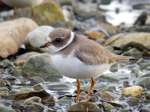 Gaze by Zinvolle - A cute semipalmated plover on the beach, elegant and at ease.