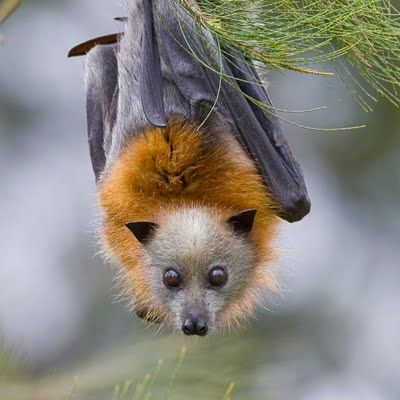 darling little flying fox bat.