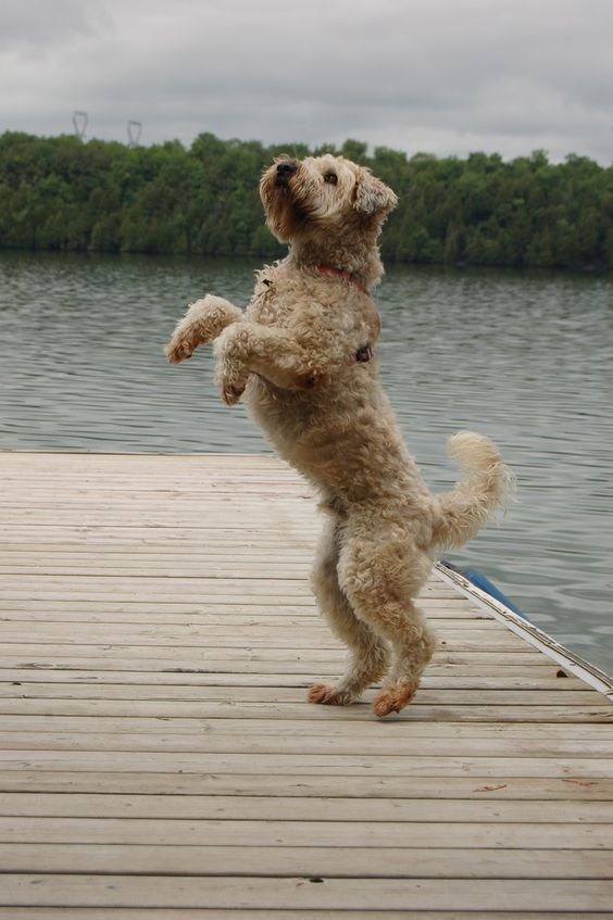 from another pinner - S Pettersson - an irish softcoated wheaten terrier - watching the skies above