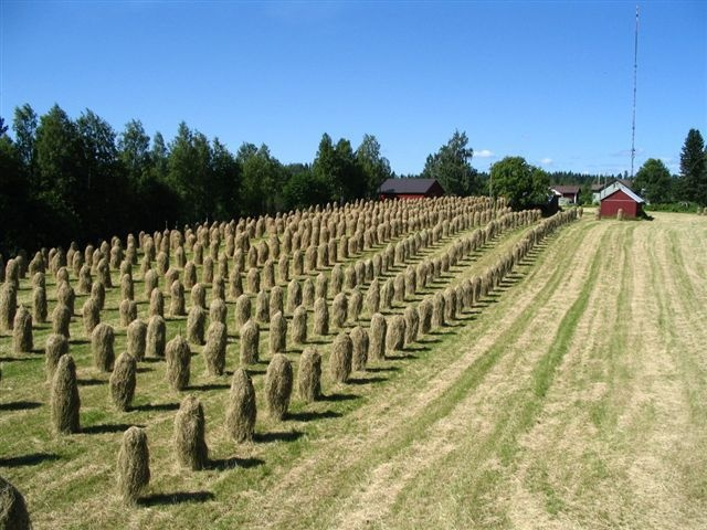 Hay on sticks in Pellesmäki, Kuopio, Finland.
