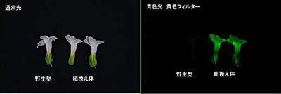 (発光蛋白質)『光る花』を遺伝子組み換えで初作製