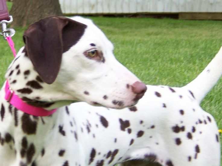 Brown Dalmatian | Dalmatian with brown spots and a patch on ear. | Dalmatian Rescue of ..