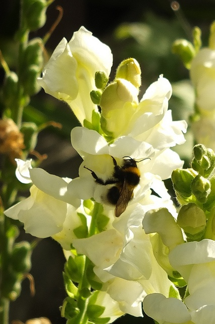 Bumble bee among the snapdragons.jpg, via Flickr.