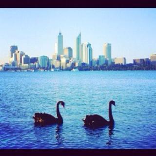 Perth swans