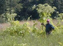 giant hogweed plant - Bing Images