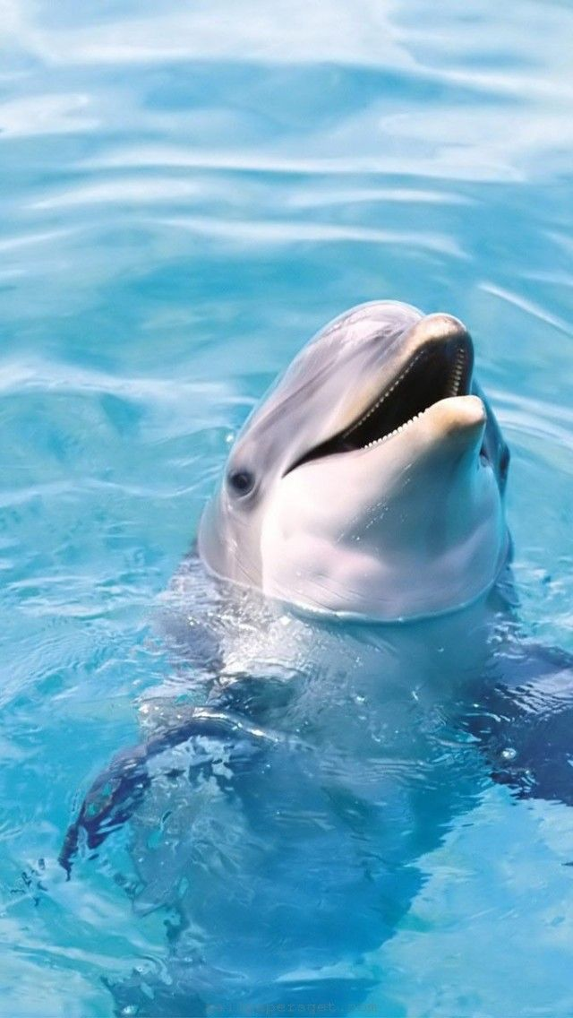 Dolphin hd iphone wallpaper free download wallpaper for - Phone animal wallpapers ...