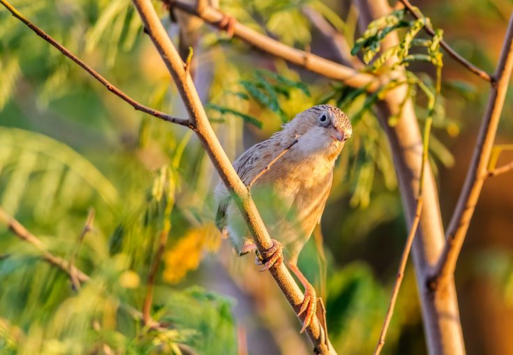 Common Babbler, Turdoides caudata perched on a branch - Common Babbler, Turdoides caudata perched on a branch with copy space