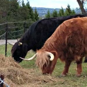 highland-farm-bowral-southern-highlands-nsw-tbone-and-doona-eating