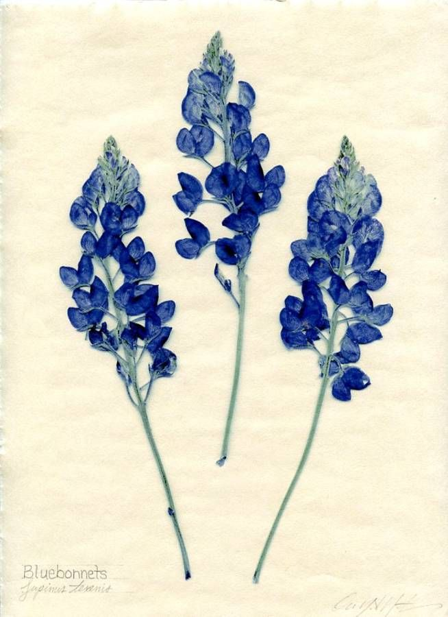 bluebonnet art - Google Search